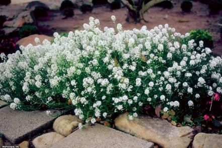 Lobularia marítima is easily grown from the seed in average, medium moisture, …