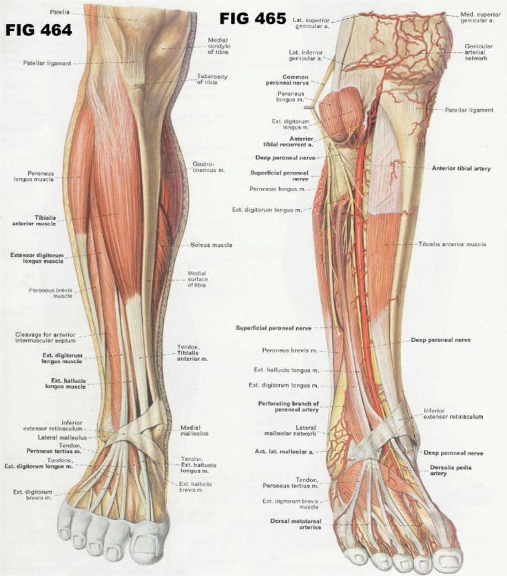 117 besten Anatomy of the Human Race Bilder auf Pinterest | Anatomie ...