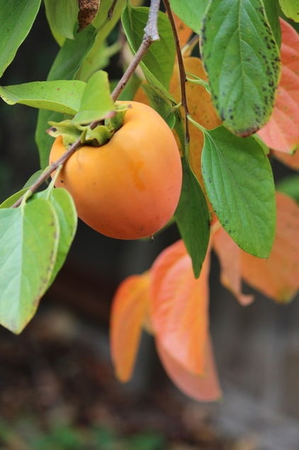 Persimmon trees are a mess but make the most kick a$$ cookies and bread!  Worth the clean up!  Botanical name: Diospyros kaki; Common name: Japanese persimmon; USDA zones: 7 to 10