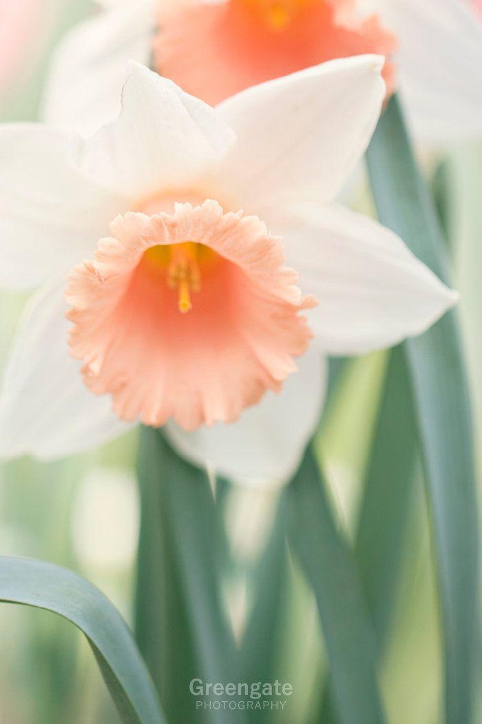 Daffodil Photo Print Flower Photography Botanical Peach Etsy Flowers Photography Beautiful Flowers Photography Daffodil Photos