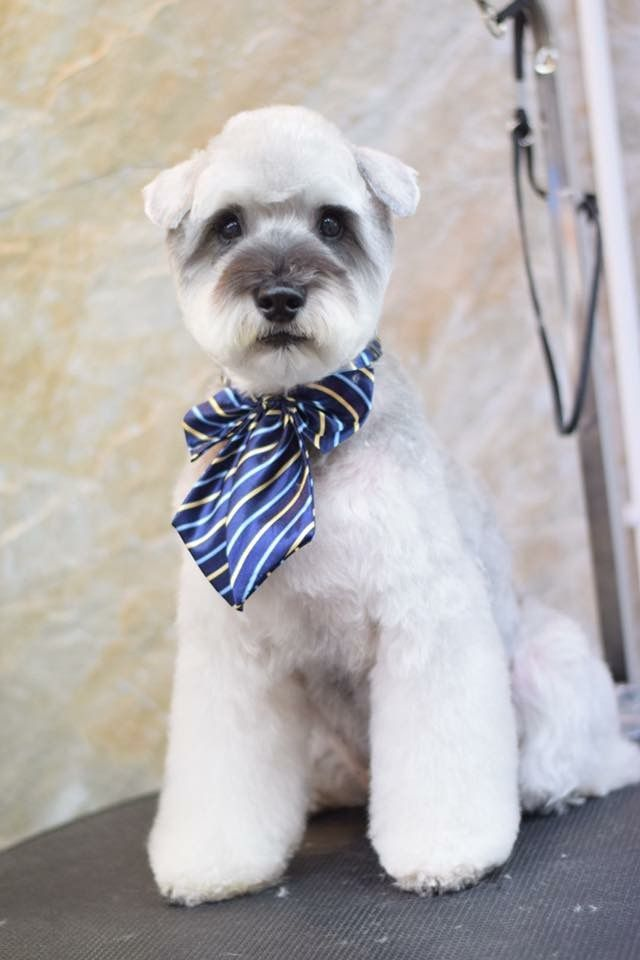 254 best dog grooming images on pinterest pets doggies and dog dog grooming styles grooming dogs mini schnauzer miniature schnauzer puppy cut dog haircuts dog houses creative grooming poodle cuts solutioingenieria Images