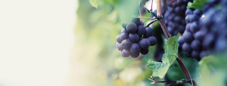 Traubenkernöl - Inhaltsstoffe und Verwendung