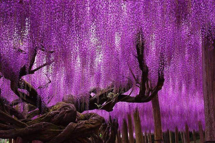 As 16 árvores mais magníficas do mundo - Portal Raízes - Uma glicínia de 144 anos no Japão