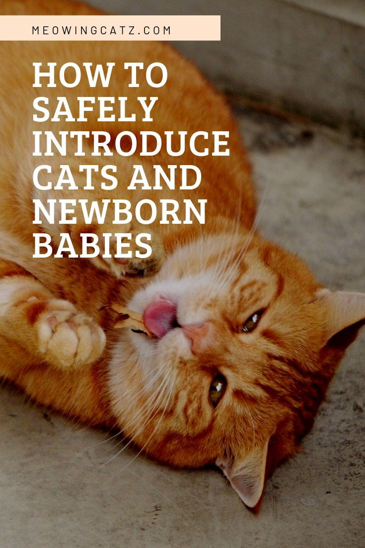 How To Safely Introduce Cats And Newborn Babies Cats And Newborns New Baby Products Newborn Kittens