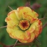 Geum 'Tequila Sunrise'. Click image to add to your plants list and to get care reminders.    Other names: Avens 'Tequila Sunrise', Geum 'Tequila Sunrise' (Cocktail Series)    Genus: Geum    Variety or cultivar: 'Tequila Sunrise' _ 'Tequila Sunrise' is a clump-forming, herbaceous perennial with pinnate, hairy, mid-green basal leaves and slender, dark reddish-purple stems bearing single to semi-double, red-flushed, yellow to apricot flowers from late spring into summer.