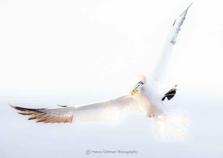 High key Gannet in flight… - Here a high key shot from a gannet in flight, I took during our last trip to Helgoland in June this year.. I choose a little lighter photo to compensate the dark and grey fall weather we currently have in the Netherlands…. Where is the summer ??????? I hope you all like it !! Have a great weekend !!!   Please click on it to see it on black.