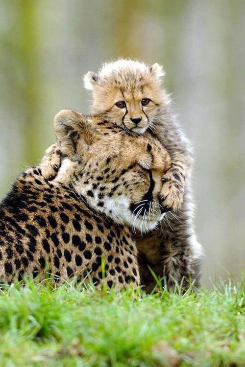 #Baby #Cheetah #hug for #Momma