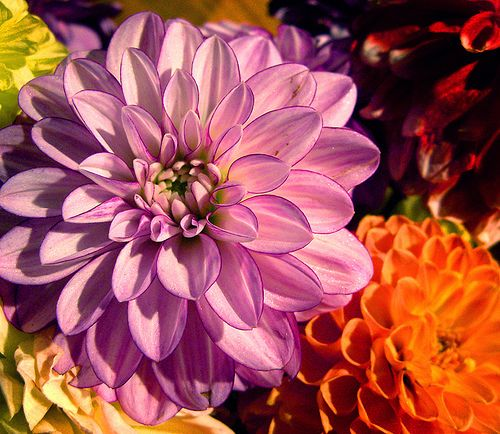 Dahlia Flowers - Pictures & Meanings