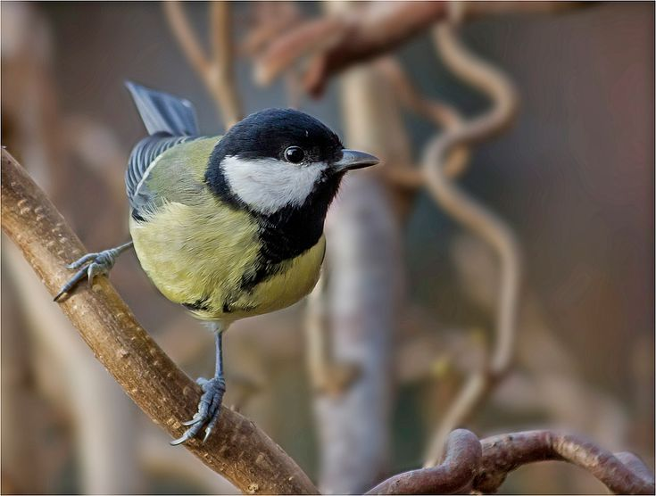 die besten 25 heimische vogelarten ideen auf pinterest heimische singv gel heimische v gel. Black Bedroom Furniture Sets. Home Design Ideas