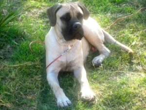 Gabe - Looking for a forever home through Great Plains Mastiff Rescue