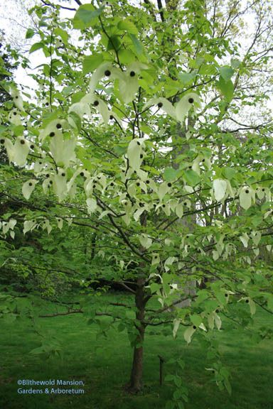 Davidia involucrata - aka dove tree, handkerchief tree or ghost tree.  Flowers mid may.  Can get 20-40' tall.  Sun to part shade