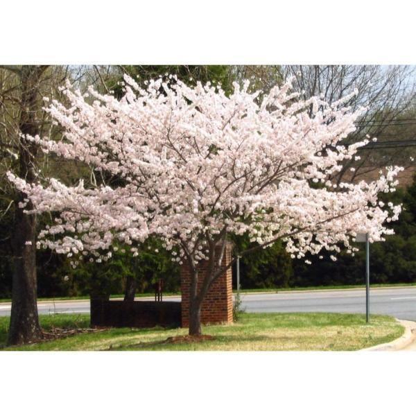 Cherry Tree Yoshino Flowering Cherry Tree Cherry Tree Yoshino Cherry Tree