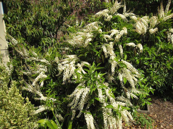 Le dictionnaire des plantes par Ooreka.fr : Laurier du Portugal (fiche d'identité, variétés, plantation, culture, entretien et maladies)