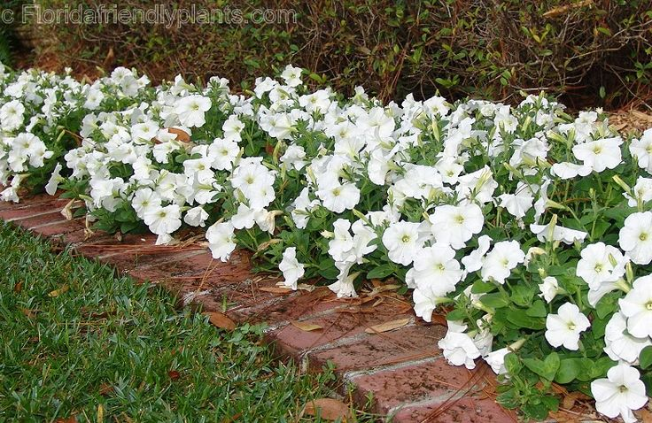 white petunias-spring to frost/full sun. These are beautiful planted in such a large grouping.