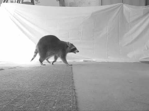 Raccoon walking video