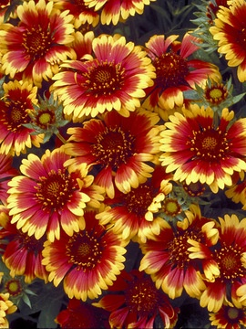 """Gaillardia Goblin, 12"""", adds a flamboyant color scheme to the garden. Pleasing banded flowers with sunny yellow serrated tips surround orange petals to give it a ruffled appearance. Compact low mounds of downy, olive green leaves are highlighted by the bold, long-blooming flowers. Very drought resistant. Pairs nicely with the soft blues of perennial Geraniums. Completely carefree"""