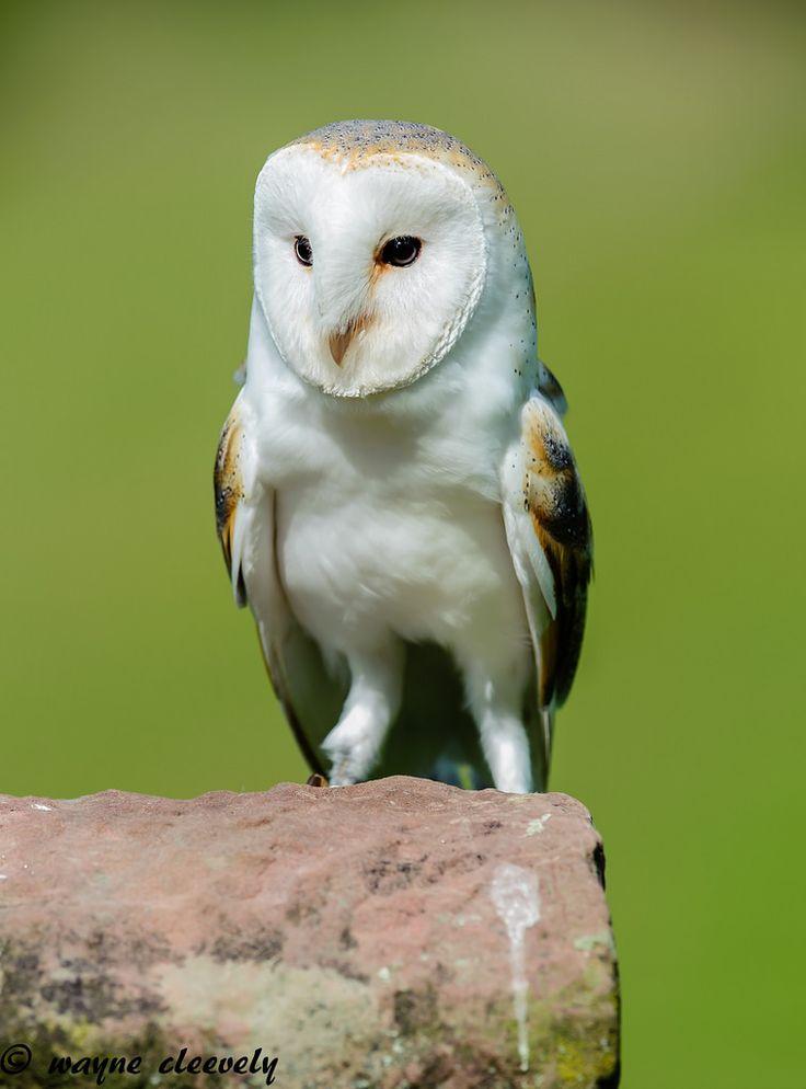 All sizes | A109 Barn Owl | Flickr - Photo Sharing! | Barn ...