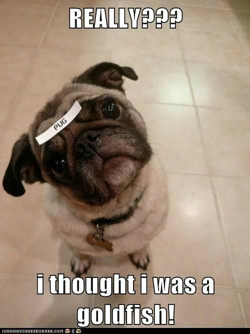 Funny pug - Funny Dirty Adult Jokes, Pictures, Memes, Cartoons ...
