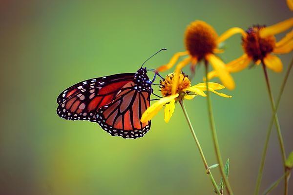Monarch on some yellow flowers last week at Glacier Ridge Metro Park in Dublin, Ohio.