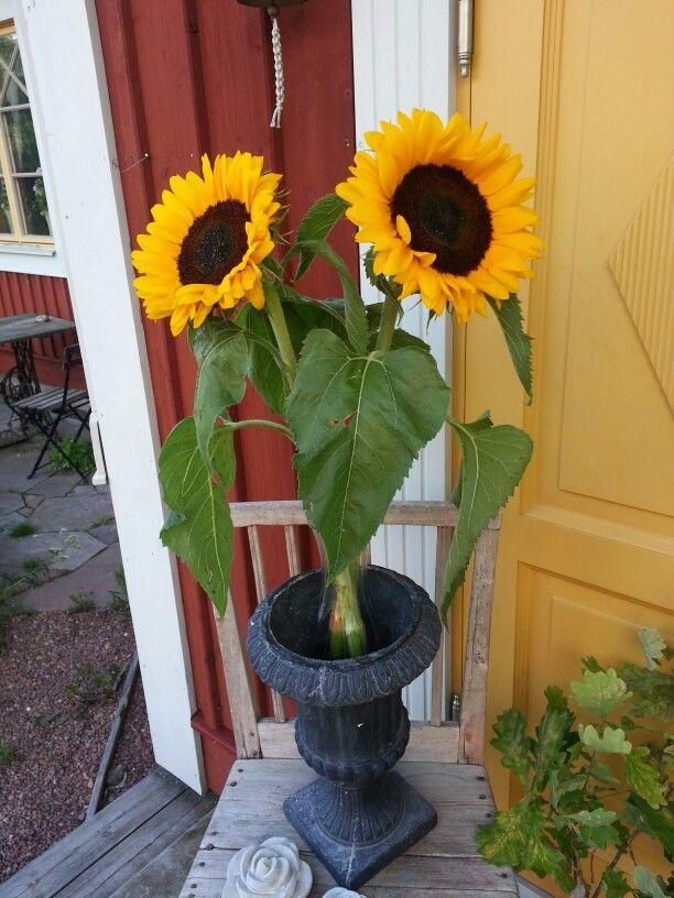Sensommar  och solrosorna blommar.