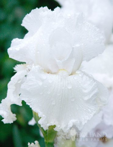 Perhaps the most famous white iris, the 'Immortality' Reblooming Bearded Iris is truly angelic! Its extremely wide falls are adorned by butter yellow beards. Blooming once in late spring and then once again in late summer or fall, you'll be happy these amazing blooms come twice a year!