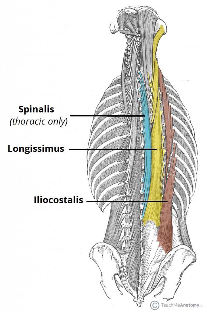 Mejores 23 imágenes de muscle system en Pinterest | Músculos, Salud ...