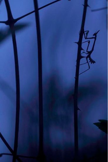 La mantide blu, Francia di Quentin Martinez/Wild Wonders of Europe  Mantide pennata (Empusa pennata)