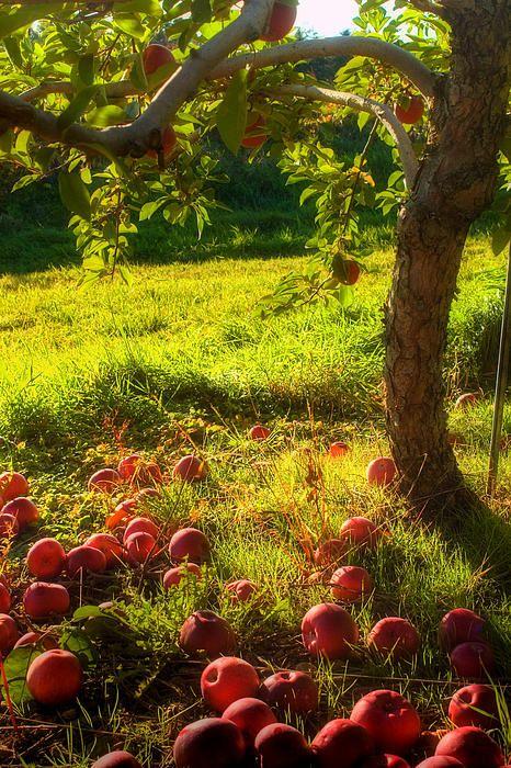 apple harvest #fabulousfruitandveggies #5aday #mannafromdevon