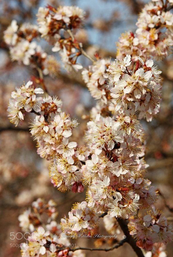 Flower (Series):Blossom Season:Chinese Cherry Blossom (5)