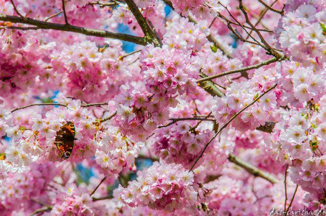 Kirschblüten im Schlossgarten Schwetzingen
