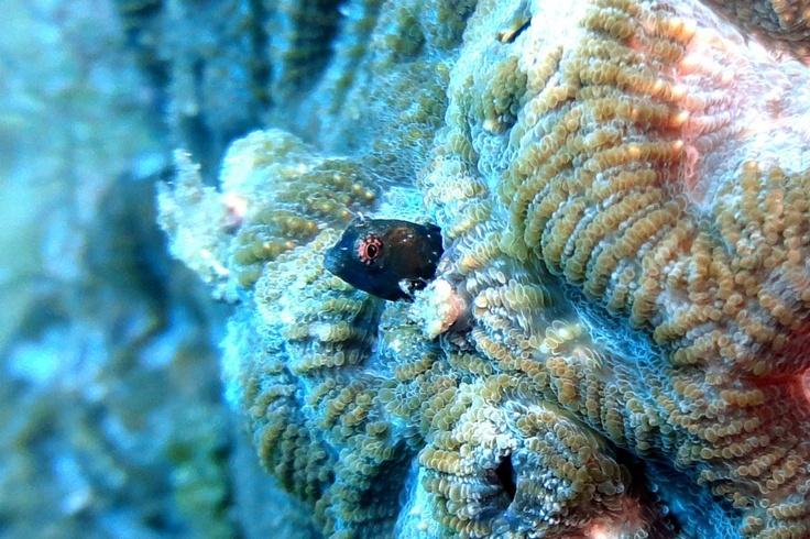 Maria-da-Toca em coral cérebro