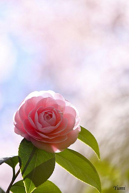 Camelia rosa flores e plantas pinterest flowers - Camelia planta ...