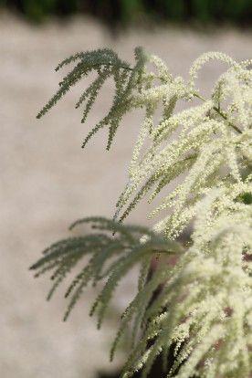 Aruncus dioicus - Geitenbaard
