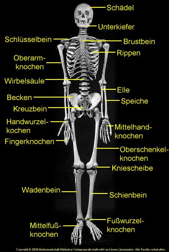 skelett mit Knochenbezeichnungen , deutsch  in german