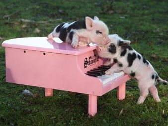 "Kunekune piglets (just a few days old!) being promoted as ""Teacup Piglets.""    Of course, there is no such breed or size class as ""Teacup;"" but, beyond that, the Pire Pire hanging from their little jowls are a giveaway as to their true lineage!"