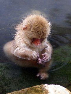This little Monkey lives in Japan in the heat pools of the coldest monkey. The life series does an amazing episode on it.