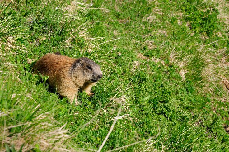 Alpine marmot / alpenmarmot (Marmota marmota) shooted in Austria on GrossGlockner 2012