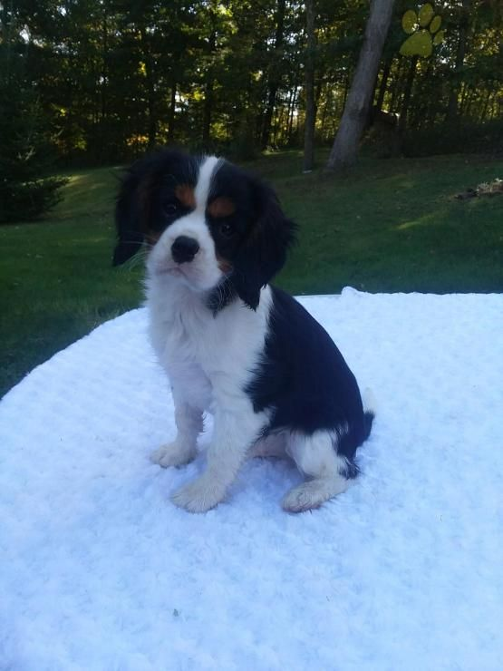 Wyatt Cavalier King Charles Spaniel Puppy for Sale in