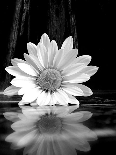 Black and white daisy captured by Ansel Adams in 1956 ...