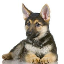 Miniature German Shepherd | Small Breed Dogs