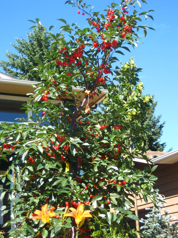 The ridiculously prolific Evan's Cherry tree