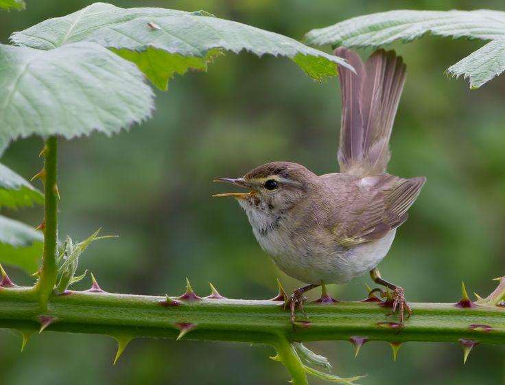 Vroege vogels foto's -  Fitis
