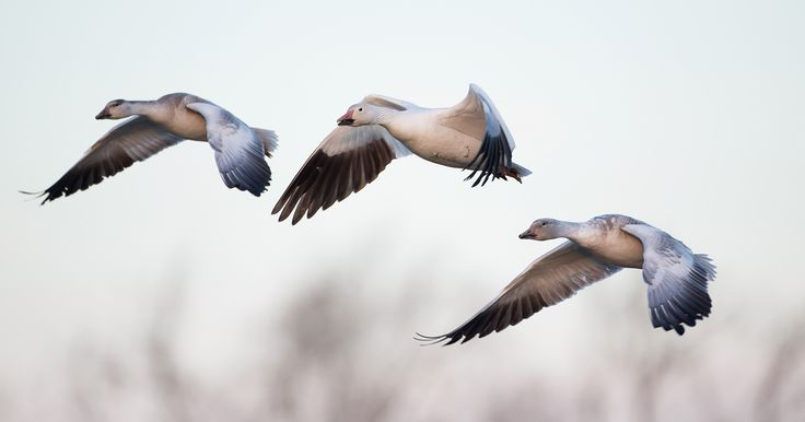 How to love eating snow geese. Tips and tricks from Hunter Angler Gardener Cook.