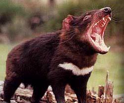 Tasmaanse duivel woonplaats: Tasmanië