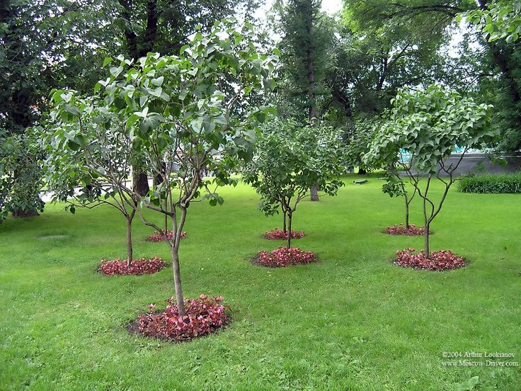 Small Trees For Landscaping | Small Trees, Alexander Garden