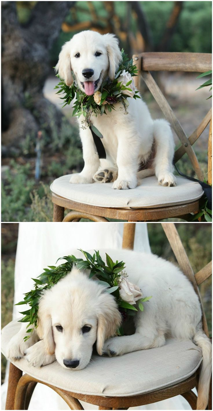 Golden retriever puppy, wedding pets, greenery collar wreath // Kimberlee Miller Photography