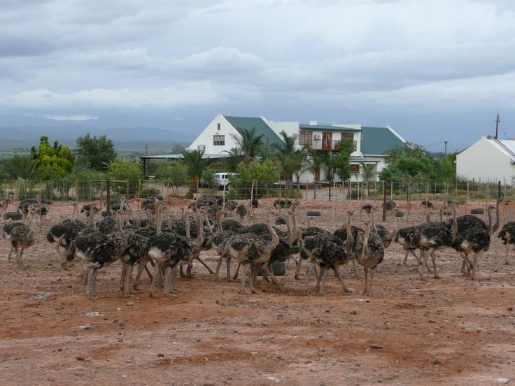 Ostrich Farm in Outshoorn (Mooiplaas)