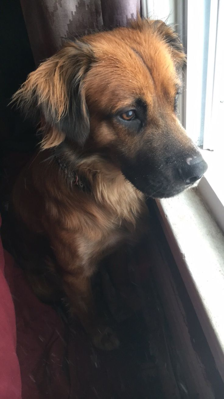 Golden Retriever / German Shepherd Mix: Simba :)