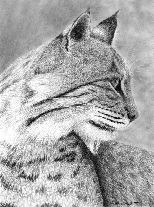 Pencil Art Gallery | Pencil Drawings Bobcat Pictures