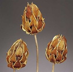Wild Thistle Natural Stem, Dried Pod